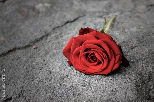 roza-czerwien-kwiat-ziemia