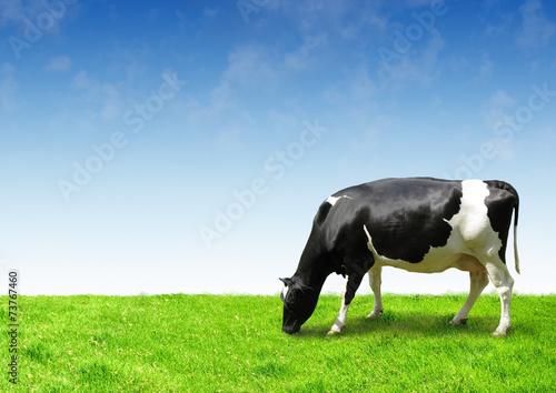 Naklejki krowa  black-and-white-cow-on-clean-sky-and-green-field-eating-grass