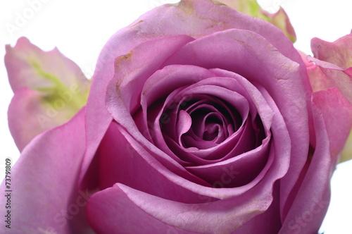 Photo sur Aluminium Macro Pink rose flower
