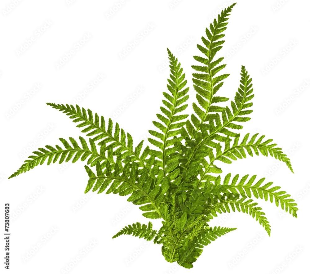 Fototapeta Green leaves of fern isolated on white