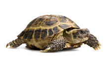 Tortoise Closeup Isolated On W...