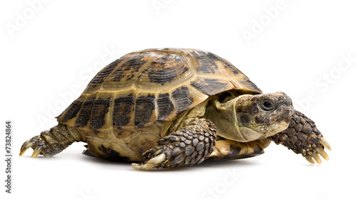 Poster Schildpad tortoise closeup isolated on white