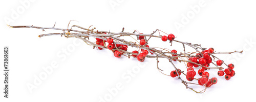 Cadres-photo bureau Cartoon voitures Twig of hawthorn, isolated on white
