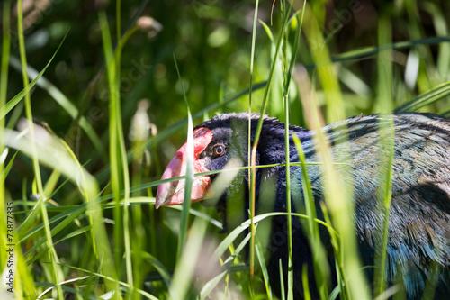 Takahea Rare Native Bird Of New Zealand