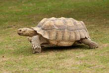 Walking Tortoise 9201