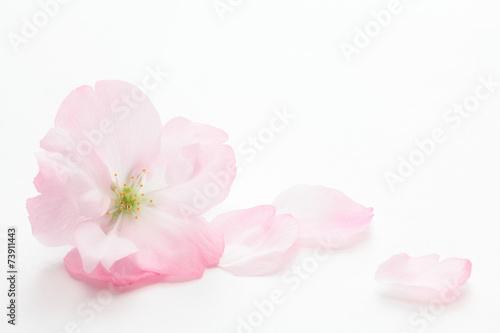 Deurstickers Kersen Closeup of Cherry blossom, Asahiyamazakura