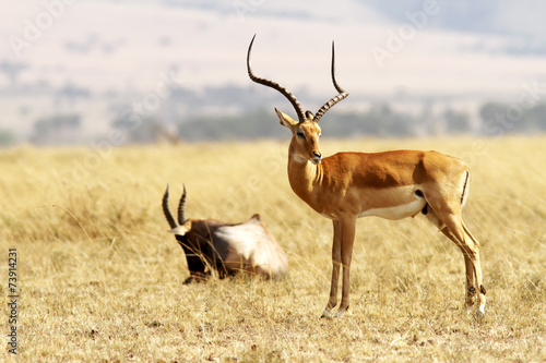 Poster Antilope Grant's Gazelle on the Masai Mara in Africa