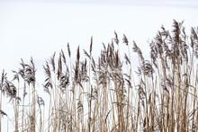 Frozen Coastal Reed