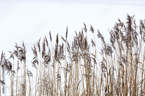 Fotografia Frozen coastal reed
