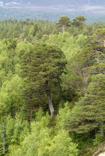 Fotografia, Obraz  Pin d'Ecosse, Pinus sylvestris