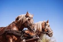 Beautiful Shire Horses