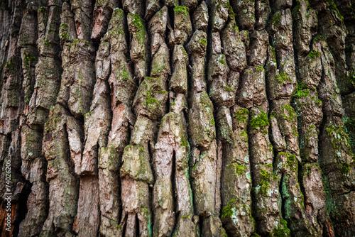 Brown oak bark Canvas Print