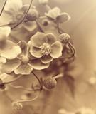 Japanese Anemone (windflower)