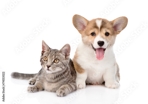 Pembroke Welsh Corgi puppy lying with cat together and looking a © Ermolaev Alexandr