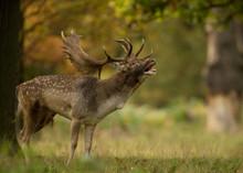 Male Fallow Deer (Dama Dama) D...