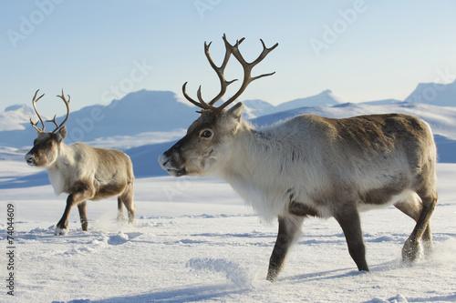Fotografiet  Reindeers in natural environment, Tromso region, Northern Norway