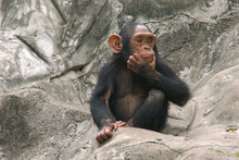 Little Chimpanzee (Pan Troglod...