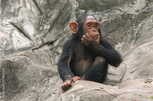 Canvastavla Little chimpanzee (Pan troglodytes)..
