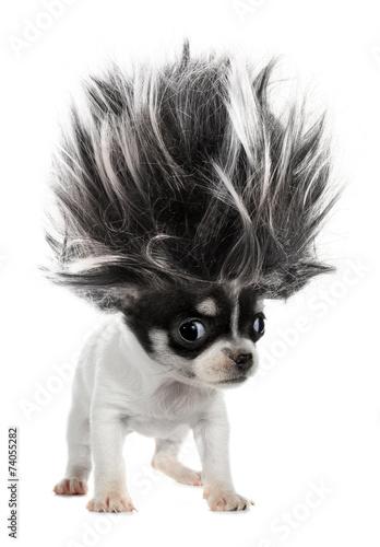 Cuadros en Lienzo Chihuahua puppy small dog with crazy troll hair