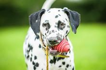 Portrait Of Dalmatian Dog With...