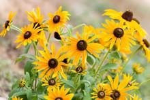 Yellow Rudbeckia Flower In Gar...