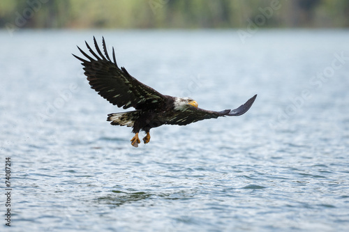Garden Poster Eagle Bald eagle in flight in the rocky mountains