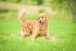 canvas print picture - Golden retriever running on the lawn