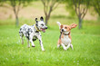 canvas print picture - Dalmatian dog playing with beagle