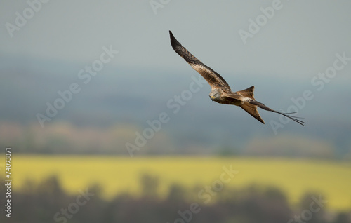 Photo  Red kite (Milvus milvus) in flight