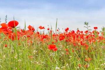 Wild Poppy Meadow