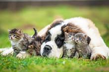 Saint Bernard Puppy With Three Little Kittens