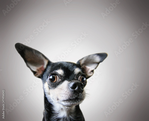 Photo  a cute chihuahua on a gray background