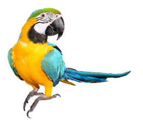 Fototapeta Blue and Gold Macaw