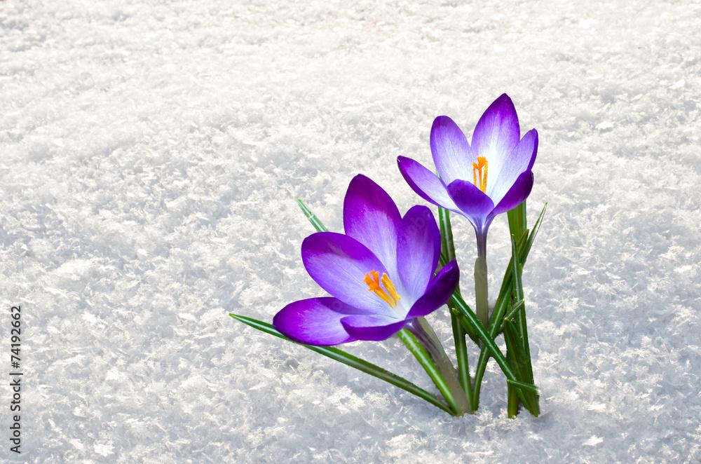 Fototapety, obrazy: first crocus flowers