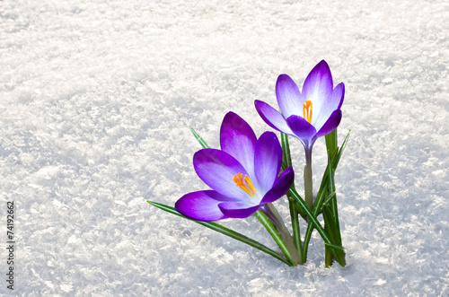 Tuinposter Krokussen first crocus flowers