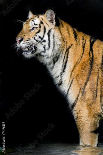 Wall mural - Tiger