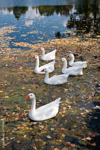 Foto auf Acrylglas Schwan Geese