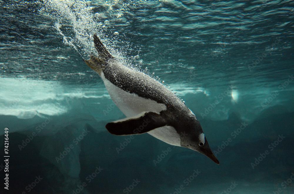 Gentoo Penguin swim underwater