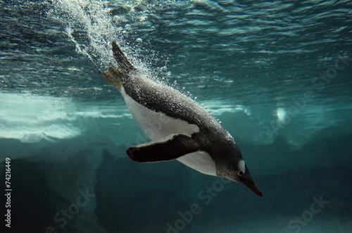 Spoed Fotobehang Pinguin Gentoo Penguin swim underwater