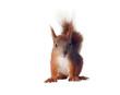 Eurasian red squirrel - Sciurus vulgaris isolated white