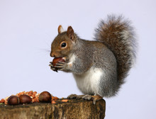 Portrait Of A Grey Squirrel