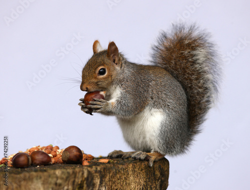 Spoed Foto op Canvas Eekhoorn Portrait of a Grey Squirrel