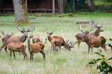 Rothirsche Im Wildpark