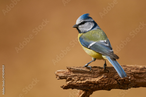 Foto op Canvas Vogel Eurasian blue tit
