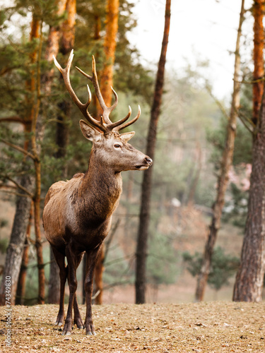 Deurstickers Hert Red deer stag in autumn fall forest