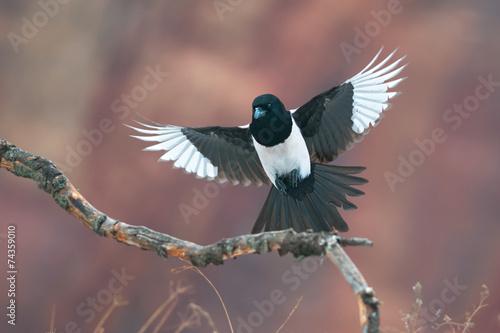 Obraz na plátně Eurasian magpie in flight