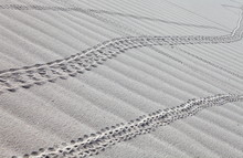 Crab Tracks On The White Sand