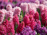 Many colorful hyacinths growing under the sunlight