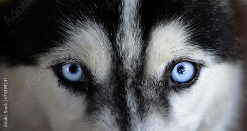 Photo siberian husky