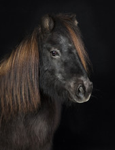 Schwarzes Shetland Pony